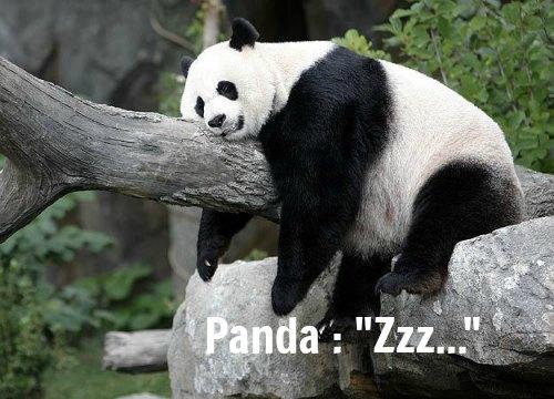 Mei Xiang : panda dort